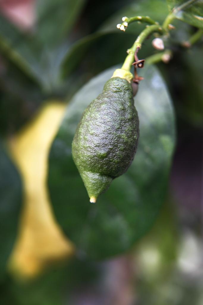 Grøn mini-citron
