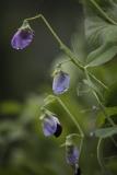kæmpeært i blomst
