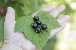 kæmpe solbær -en plante fra læsø