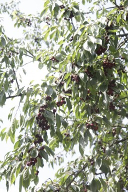 Gammeldags kirsebær