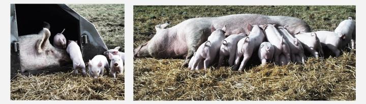 Hanegal økologiske grise på mark