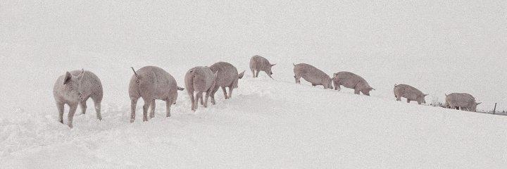 Hanegal-grise-i-sne