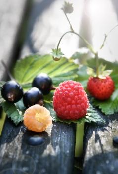 Gule-hindbær,-efterårshindbær,-kæmpe-solbær-og-skovjordbær_web