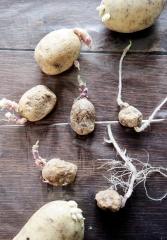 Forspirede økologiske kartofler