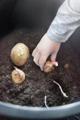 Vi lægger tidlige kartofler i spande