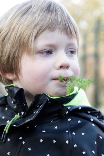 Sødskærm smager af anis og lakrids, og er god at gumle på når man er på havearbejde.