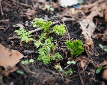 Sødskærm er noget af det mest taknemmelige at dyrke i på en skyggefuld plet i haven, og er en af tidligste forårsbebudere i urtehaven.