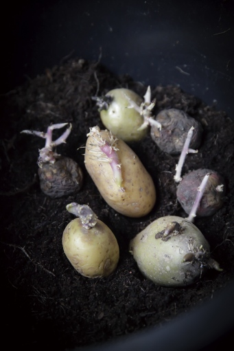 forspirede-kartofler-til-dyrkning-i-spand_ting-at-lave-i-haven-i-marts-med-born