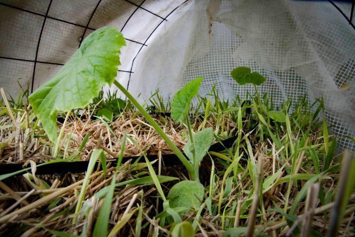 Halmballehaven franske courgetter er plantet ud i halmballer-1