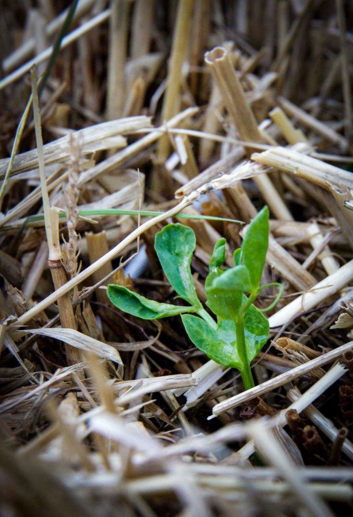 Halmballehaven i paller ærterer plantet ud i halmballer-1
