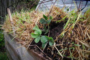 Halmballehaven jordbær er plantet ud i halmballer-1