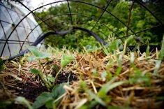 Halmballehaven kattesikring jordbær spirer i halmballer sådan ser haverne ud april halmballer-1