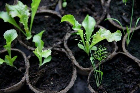 Halmballehaven salat og fennikel spirer i jiffypotter-1